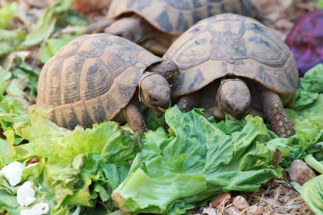 żółwie lądowe w chorwacji