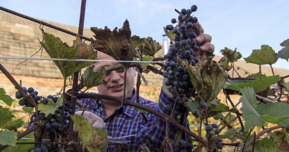 winobranie w północnej Polsce