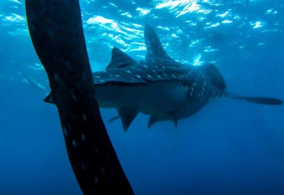 Rekin wielorybi z Oslob – czy to na pewno atrakcja?