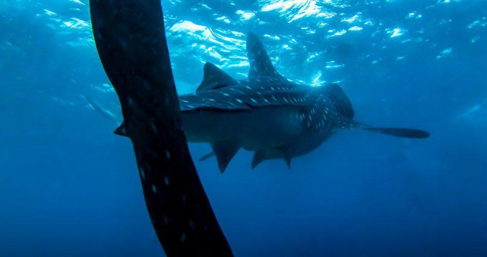 rekin wielorybi z Oslob