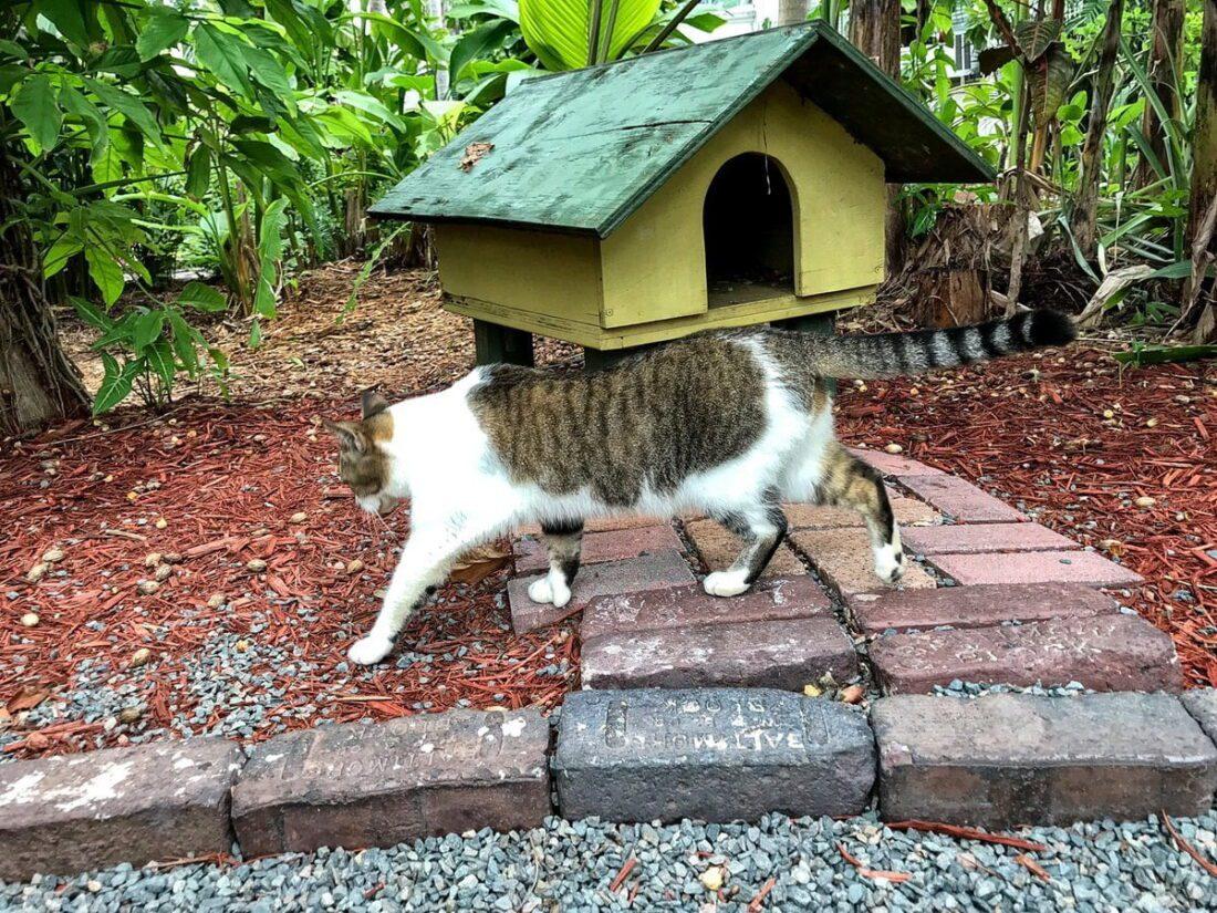 sześciopalczaste koty hemingwaya