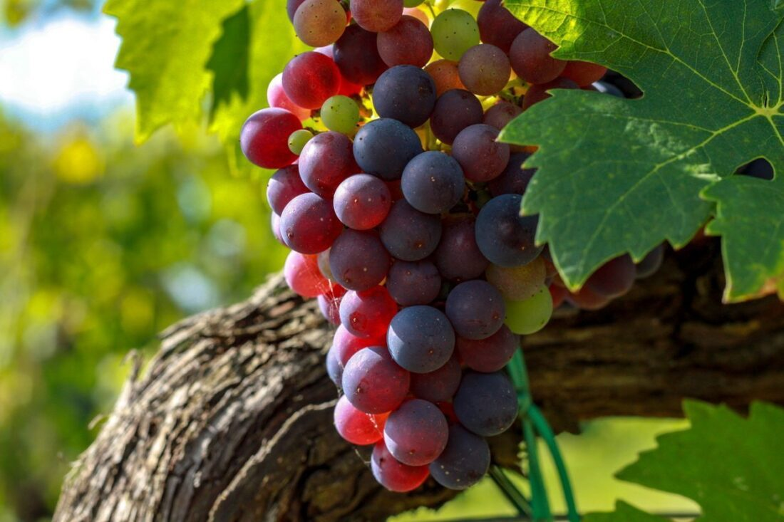 toskania wino