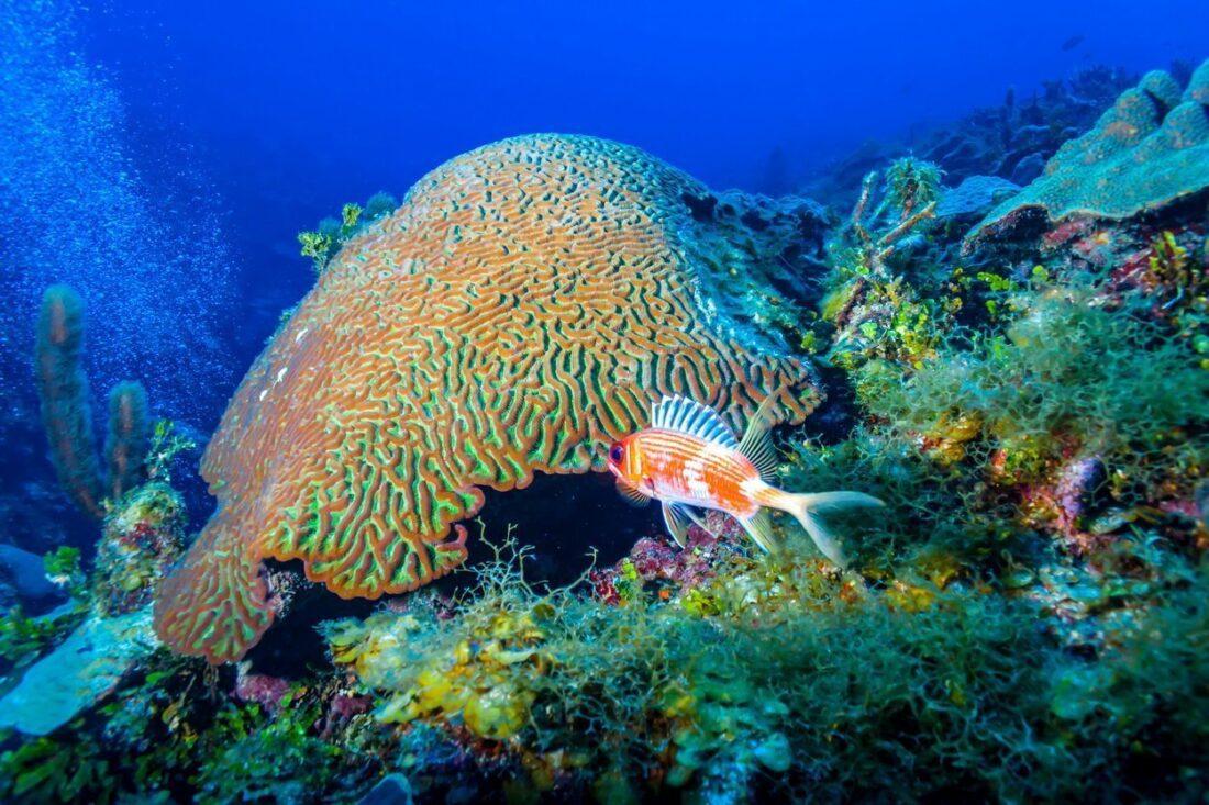brain coral na Kubie
