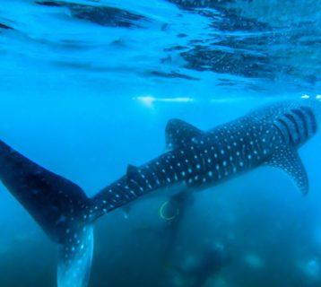 Nurkowanie Filipiny Balicasag rekiny film