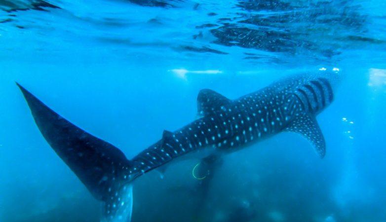 Nurkowanie Filipiny – wyspa Balicasag, rekiny z Oslob – FILM