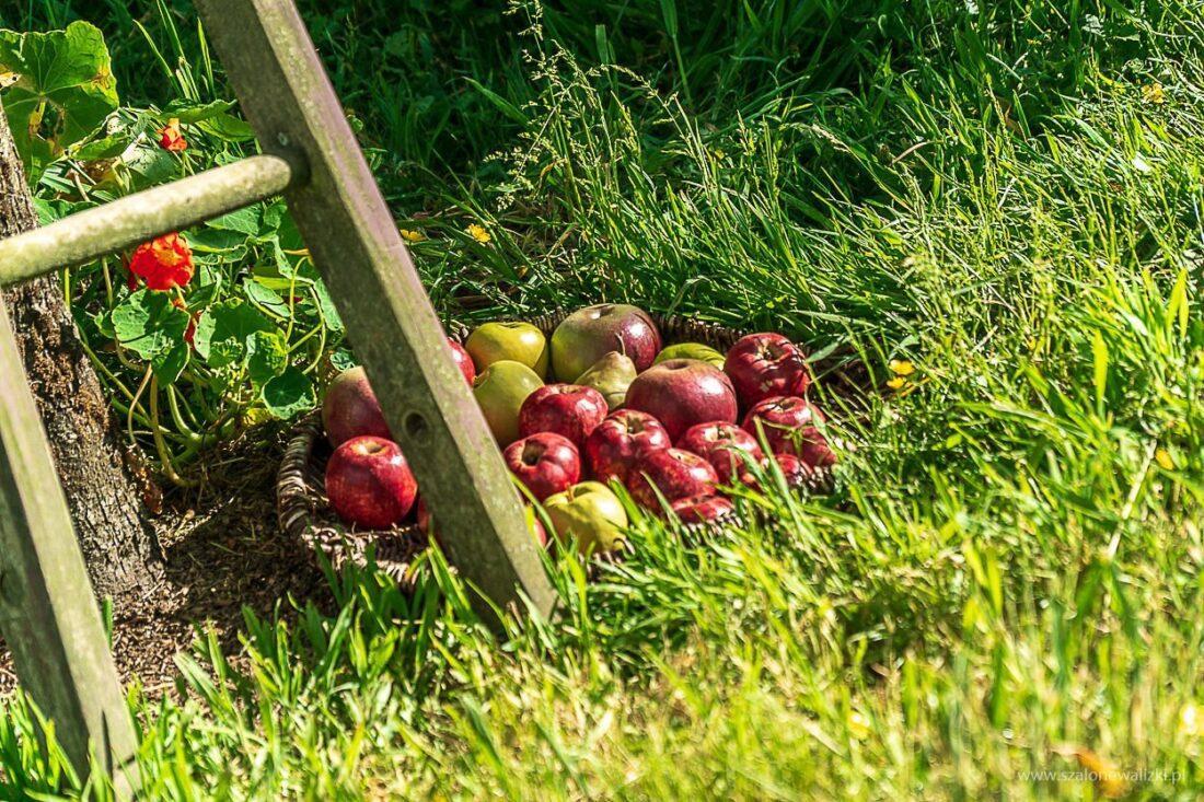 jabłka w hobbitonie