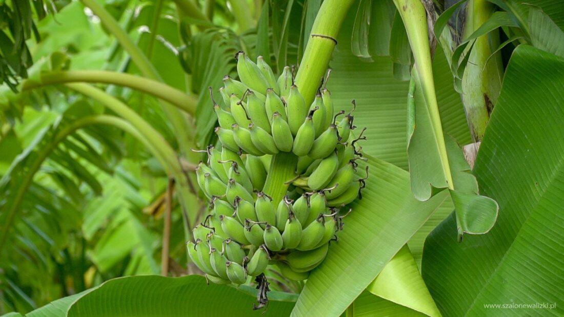 banany w kambodży