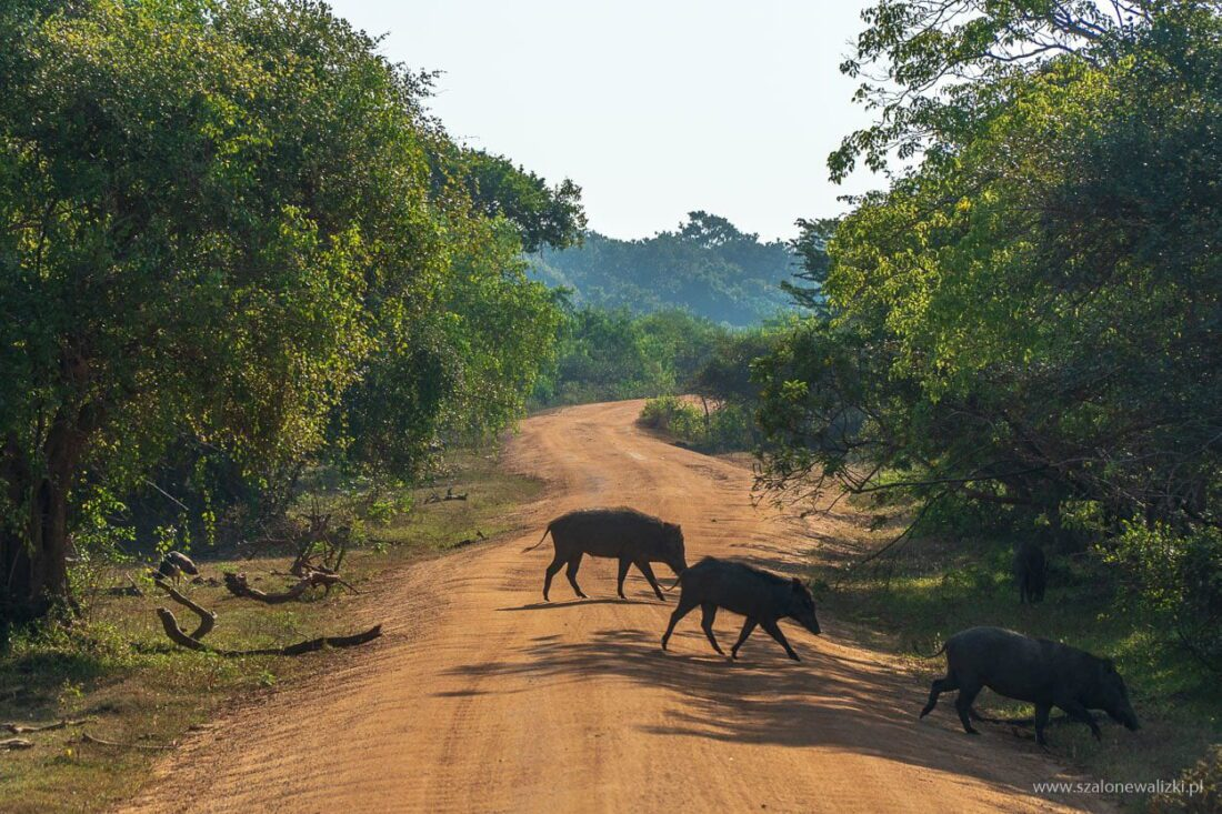 dzikie świnie yala