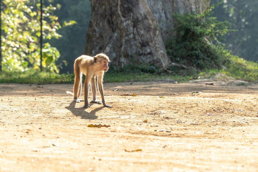 makaki rozczochrane