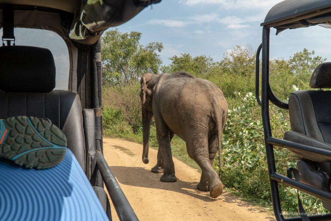 słonica indyjska