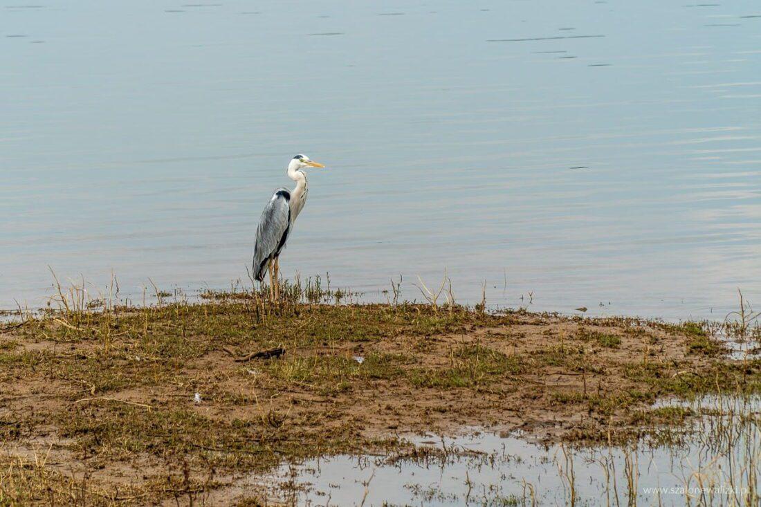 ptaki wodne
