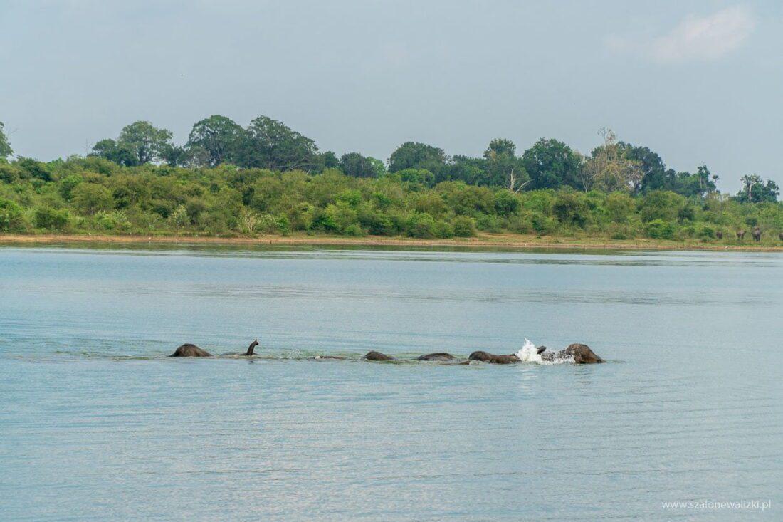 słonie indyjskie w kąpieli