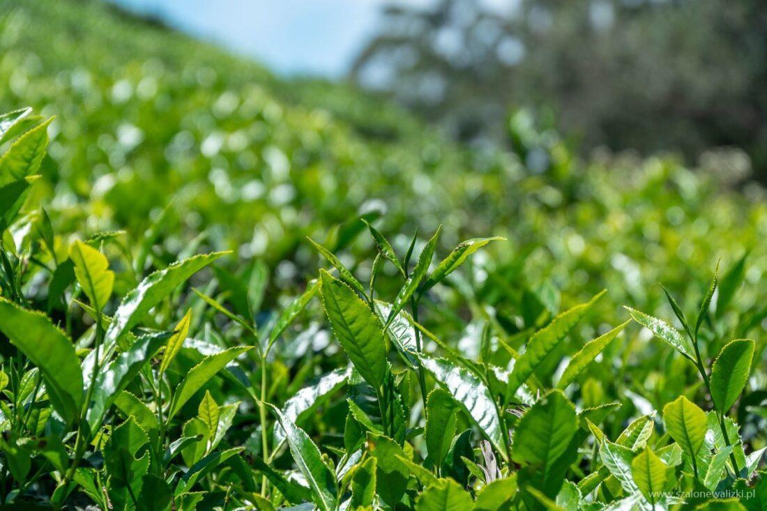 plantacja liptons seat - liście herbaty
